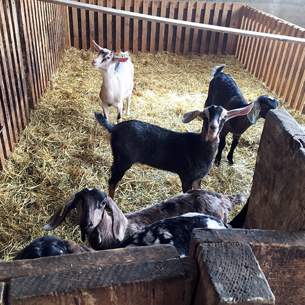 Gaec de Brette Vieille - troupeau de chèvres